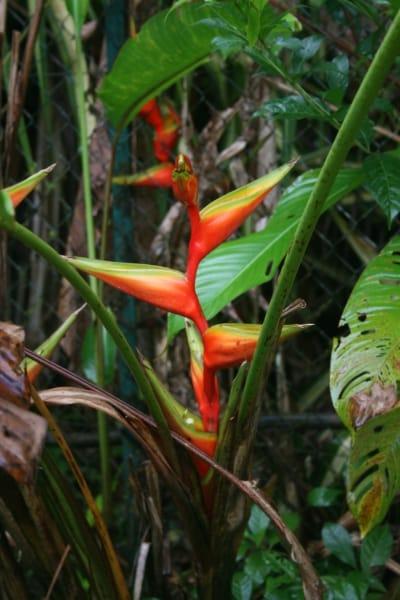 13 Heliconia bihai